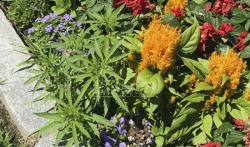 U cvećnjaku ispred Parlamenta Vermonta raste - kanabis