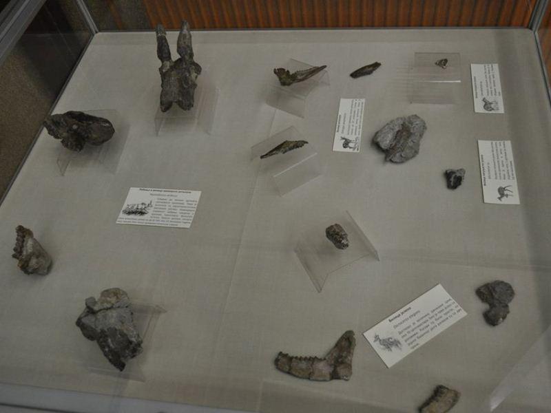 U prokupačkom Muzeju izložba fosilnih ostataka paleontološkog nalazišta Prebreza