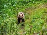 U šumama i kanjonskim delovima Tare živi oko 60 jedinki mrkog medveda