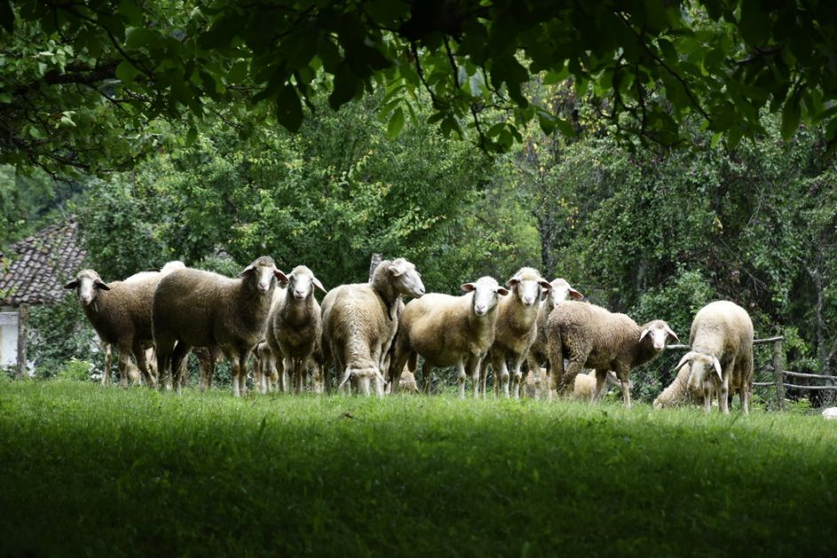 U udaru groma stradalo stado od 20 ovaca