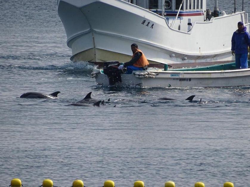 UŽASNO OKRUTNO! CEO ZALIV SE ZACRVENI OD KRVI! U Japanu počeo godišnji lov na delfine! 1.700 predivnih stvorenja biće zverski iskasapljeno! (VIDEO)