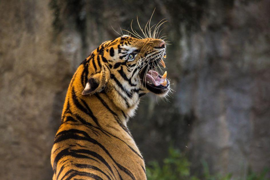 Ubijena opasna tigrica, parfem Obsession mamac u poteri