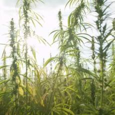 Ujedinjene nacije donele neočekivanu odluku, tiče se statusa marihuane! Korak koji će uticati na mnoge