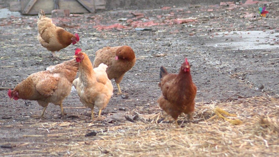 Uklonjena živina sa deset farmi na KiM zbog ptičjeg gripa