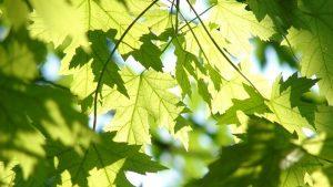 Umesto stare hrastove šume niče neprohodni bagremar