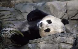 Umrla najstarija panda na svetu, stara 37 godina