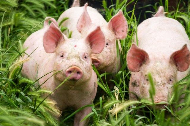 Uprava za veterinu: Afrička kuga svinja kod Zaječara, odmah preduzete mere