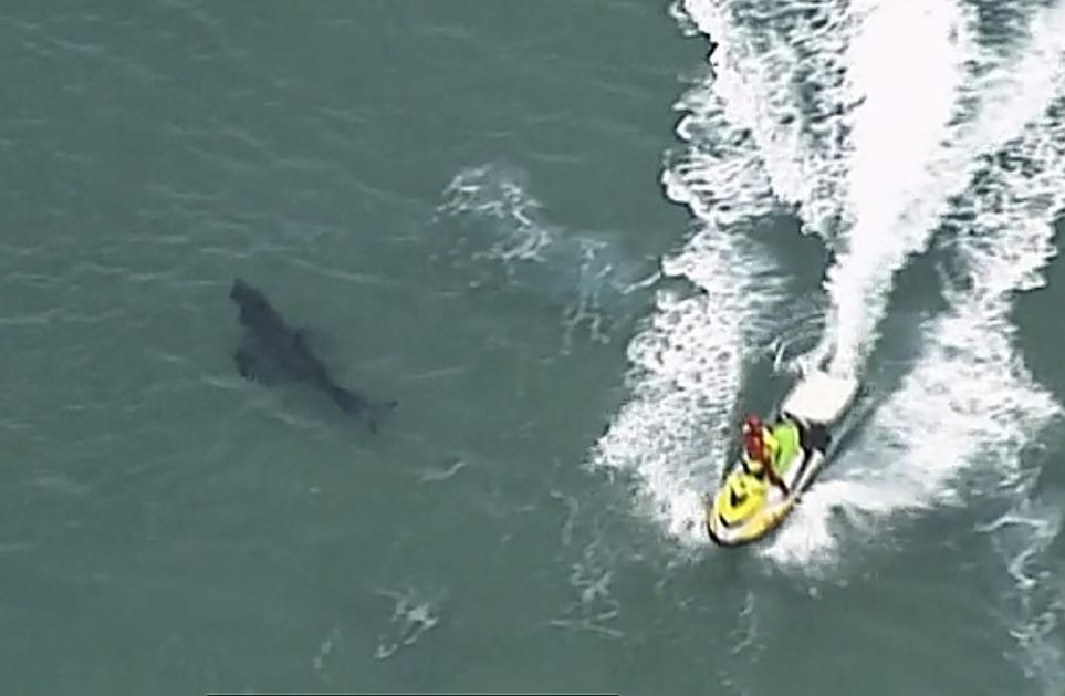 VELIKA BELA AJKULA UBILA SURFERA U AUSTRALIJI: Neman mu je odgrizla nogu, kolege uzalud pokušale da ga odbrane i spasu!