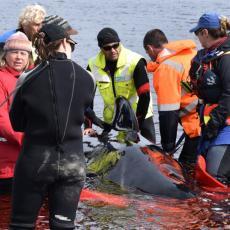 VELIKA TUGA, OVO DO SADA NIJE VIĐENO: Nasukane kitove čeka najcrnja sudbina (FOTO)