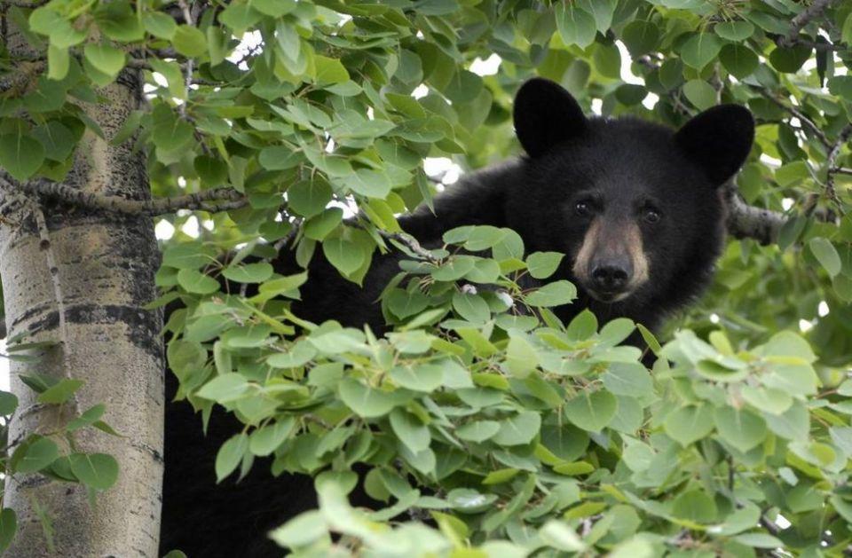 VELIKI CRNI MEDVED POSETIO OLIMPIJSKI BEJZBOL STADION: Čuvari videli životinju, pa alarmirali javnost