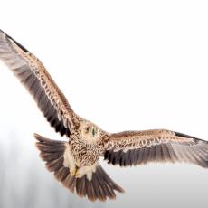 VELIKI POVRATAK ORLA KRSTAŠA: Na prostoru Vojvodine i Beograda prethodna dva meseca boravilo 13 mladih ptica