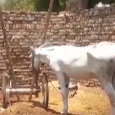 VEROVALI ILI NE, I OVO SE DEŠAVA: Neverovatan slučaj sa magarcem obišao svet (VIDEO)