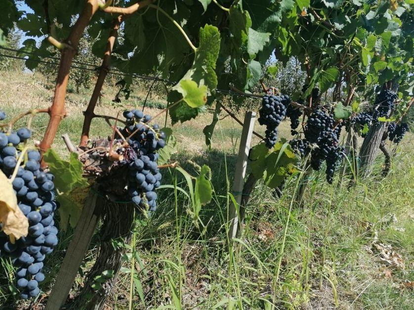 Vinogradari koji prodaju grožđe moraju da se upišu registar