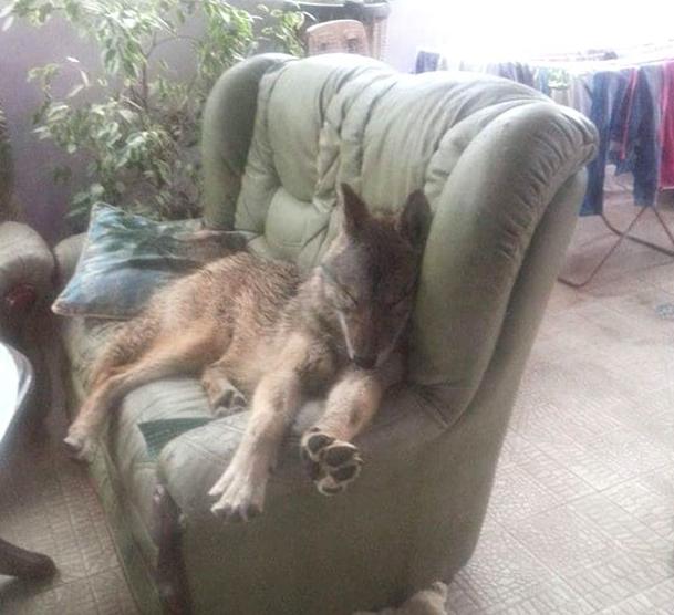 Vlasnica tvrdi da Coka nije vuk već hibrid!