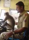 Vozač dao majmunu da vozi autobus, a putnici se nisu bunili VIDEO