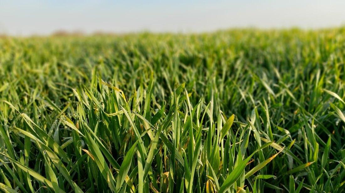 Vremenske prilike pogoduju završetku vegetacije pšenice