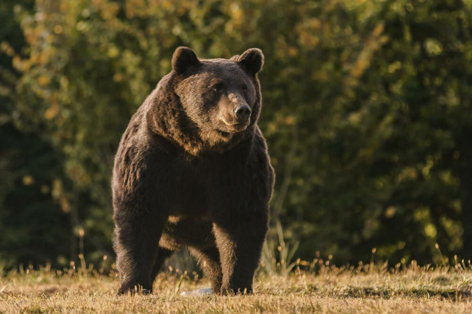 ZADOVOLJSTVO PLATIO 7.000 EVRA Princ iz Lihtenštajna odstrelio najvećeg medveda u Evropi!