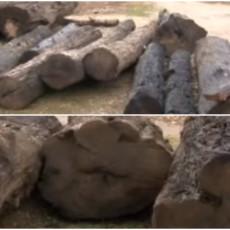 ZARADA ZAGARANTOVANA, POREDI SE SA TARTUFIMA: Srbija ovo drvo ima na pretek, vadi se iz korita reka, ali POSTOJI CAKA