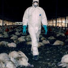 ZARAZA DIGLA EVROPU NA NOGE! SZO obelodanila: Koliki je rizik od zaraze novim sojem ptičijeg gripa?