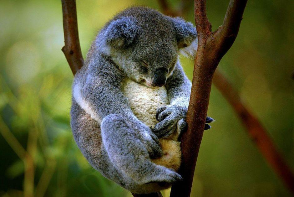 ŽELIMO DA SE NJIHOVA POPULACIJA OPORAVI Australija razmatra da koale proglasi ugroženom vrstom
