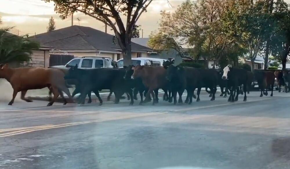 ŽELJA ZA ŽIVOTOM I SLOBODOM: 40 krava pobeglo iz klanice! Ulice Los Anđelesa se pretvorile u rodeo! VIDEO