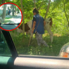 ZEMUNCI U ŠOKU! Gospođa prošetala NETIPIČNOG kućnog ljubimca u prometnoj ulici, slika zapalila Internet (FOTO)