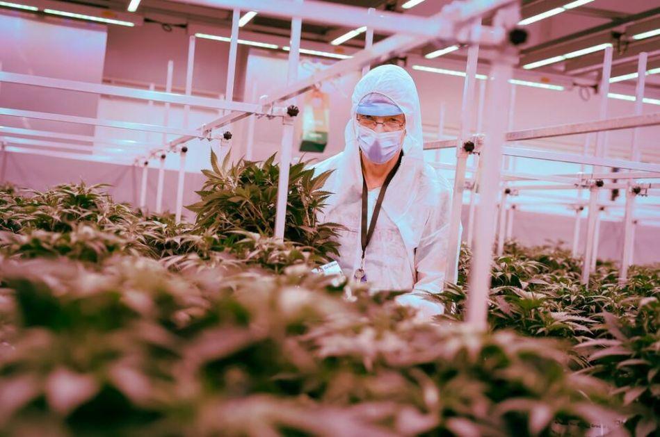 ŽETVA PRVOG LEGALNOG KANABISA U NEMAČKOJ: Iz ovog bunkera izašlo je prvih 50 kg trave i krenulo ka apotekama! VIDEO