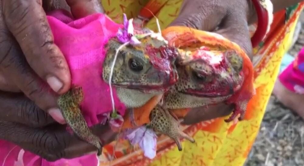 ŽIVELI SU SREĆNO DO KRAJA ŽIVOTA Indijski poljoprivrednici venčali dve žabe da odobrovolje boga kiše VIDEO