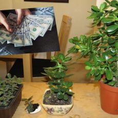 ZOVU JE DRVO NOVCA: Pogledajte gde da stavite OVU BILJKU i novčanik će vam biti PUN PARA DO VRHA!