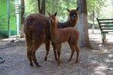 Zanimljivosti u Crnoj Gori: Moratorijum na kredite i za uzgoj lama i kamila