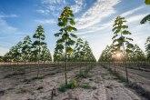 Zarada 50.000 evra po hektaru: Po Srbiji niču plantaže drveta koje raste 6 puta brže od hrasta