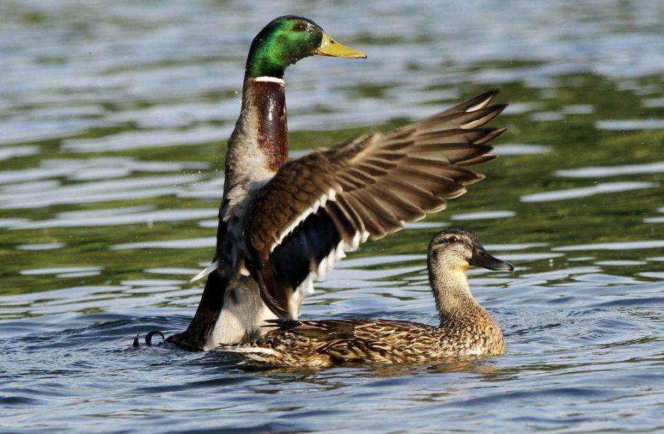 Zaštita divljih ptica, kažnjavati za vabilice