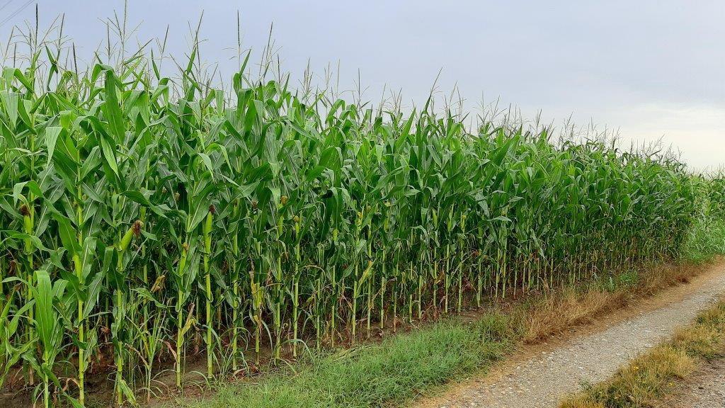 Zbog tropskih dana aflatoksin i aspergilus pretnja kukuruzu
