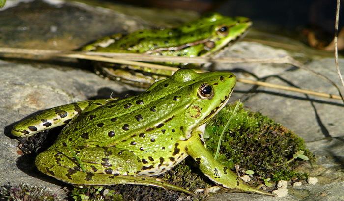 Zbog žaba zatvaraju put na dva meseca