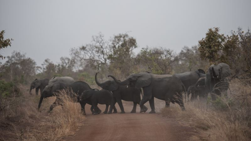Zimbabve: Za dva meseca najmanje 55 slonova umrlo od gladi