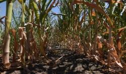 Žita Srbije: Rod kukuruza manji 3,5 miliona tona ili 525 miliona evra