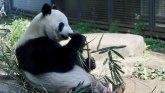 Životinje: Kakva sreća - džinovska panda rodila blizance u zoološkom vrtu u Tokiju