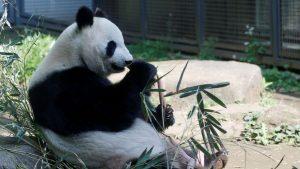 Životinje: Kakva sreća – džinovska panda rodila blizance u zoološkom vrtu u Tokiju