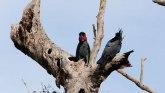 Životinje: Ptica bubnjar - jedina vrsta na svetu koja pravi i svira instrument
