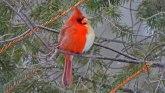 """Životinje: Severni kardinal - polu-ženka, polu-mužjak"""" uslikan u Pensilvaniji"""