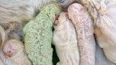 Životinje: Upoznajte Pistaća - preslatko štene retko zelene boje