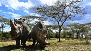 Životinje: Vantelesna oplodnja, surogat majčinstvo i ćelije kože – kako naučnici pokušavaju da spasu severnog belog nosoroga od izumiranja