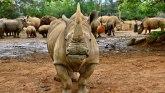 Životinje: Ženka belog nosoroga stigla u Japan u potrazi za partnerom