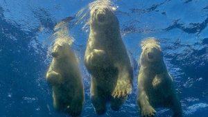 """Životinje i ljudi: Amos Nahum – fotograf koji je ostvario """"ludi san"""" da pliva sa polarnim medvedima"""
