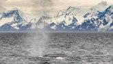 Životinje i lov: Plavi kitovi se vraćaju u vode u kojima su ih skoro istrebili