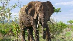 Zombi gen, zaštitnik slonova