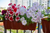 Zvezda balkona: Petunija - presađuje se u maju, lako se održava