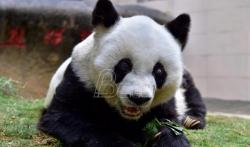 Broj džinovskih pandi raste ali je stanište sve manje