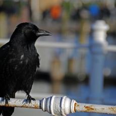 Jagodina pod INVAZIJOM VRANA: Doletelo 10.000 ptica, opsedaju kuće i ulice, evo kad je NAJGORE