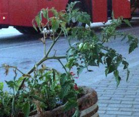 Ko uzgaja paradajz na leskovačkoj autobuskoj stanici?